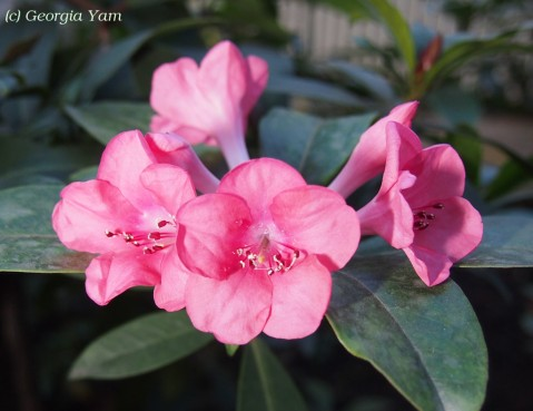 Rhododendron 'Pink Delight'