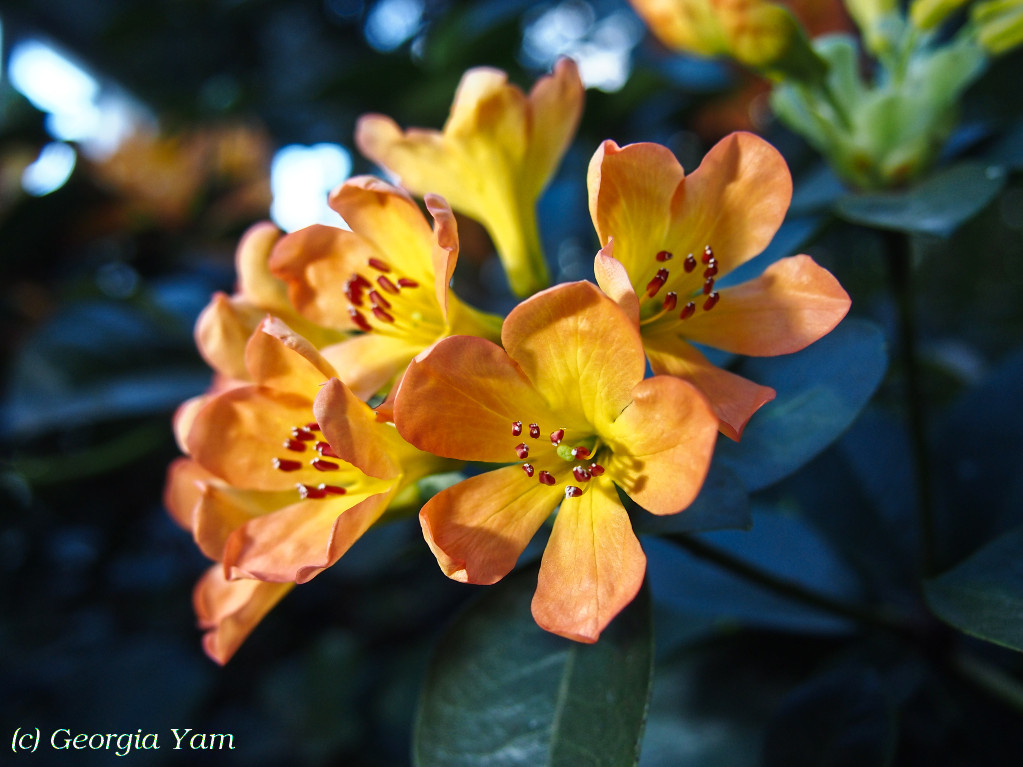 Rhododendron macgregoriae