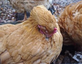 chicken grooming