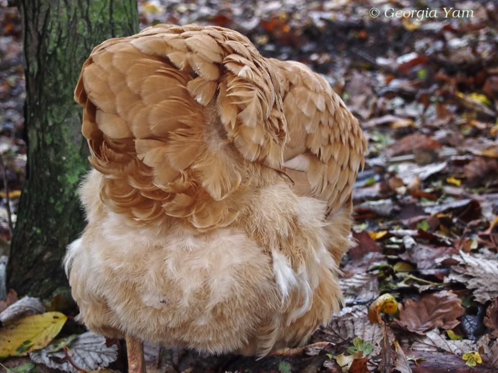downy chicken