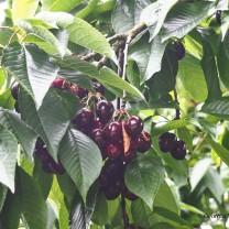 July: Cherry Festival
