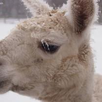 Icy eyelashes