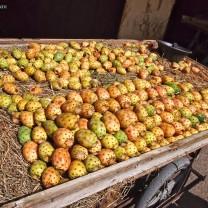 Prickly Pear, Fes, Morocco