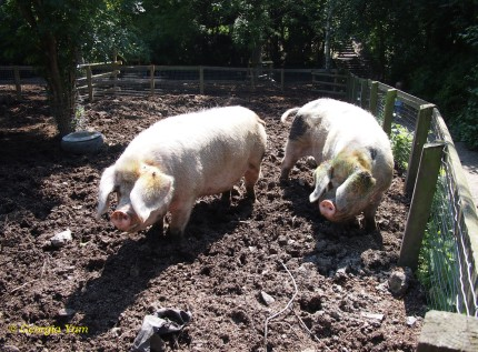 Pigs in dirt