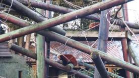red panda climbing enclosure