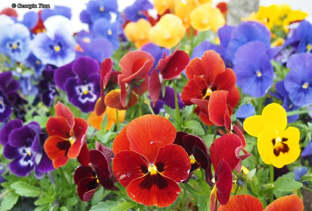 coloured pansies