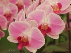 pink Taiwan Orchids, Chelsea Flower Show 2012