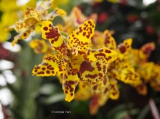 yellow orchid, Kew Gardens