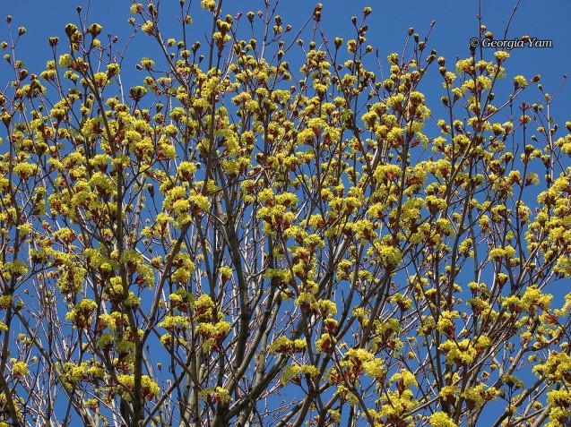 Yellow blossom blue sky