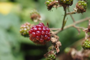 Ripe blackberry
