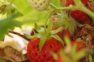 ripe & unripe strawberries