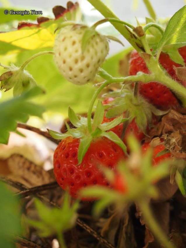 ripe & unripe strawberries