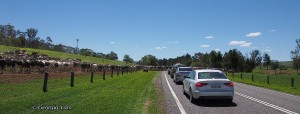 cows cars waiting