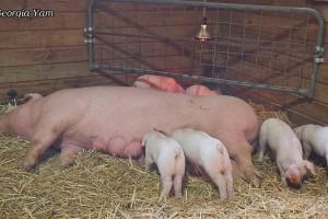 suckling piglets family