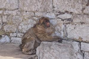 watching ape Gibraltar