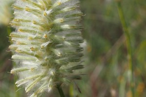 delicate bottle brush flower