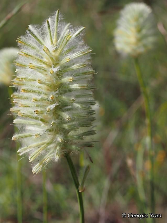 delicate bottle brush flower