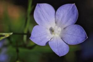 blue wildflower macro