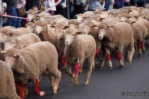 festival of the fleeces sheep