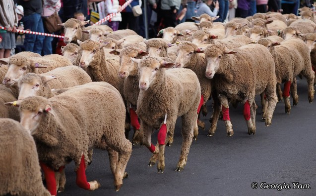 festival of the fleeces sheep