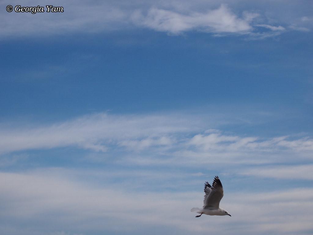 seagull in full flight