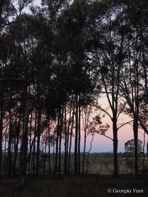 gum trees silhouette sunset