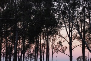gum trees silhouette sunset