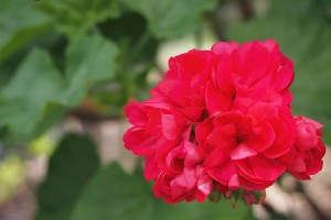 red geranium flower