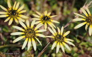 miniature daisies