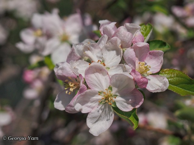 pastel pink apple blossom