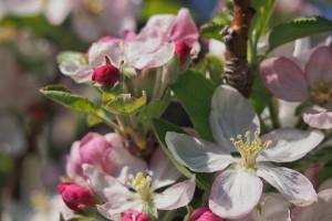 fully open blossom