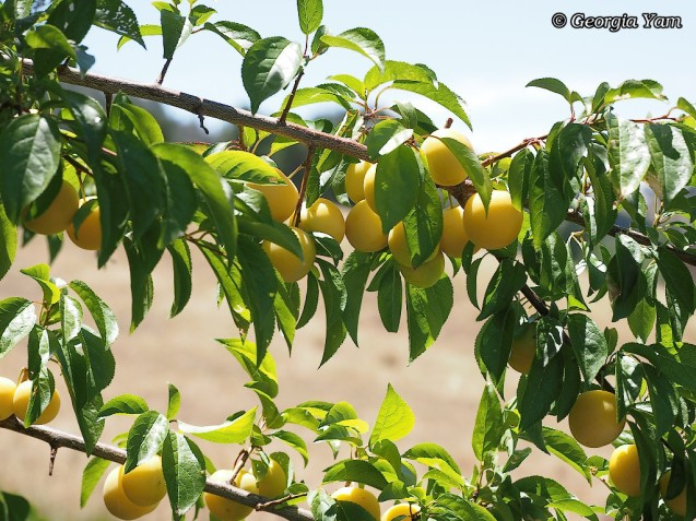 yellow plums on tree