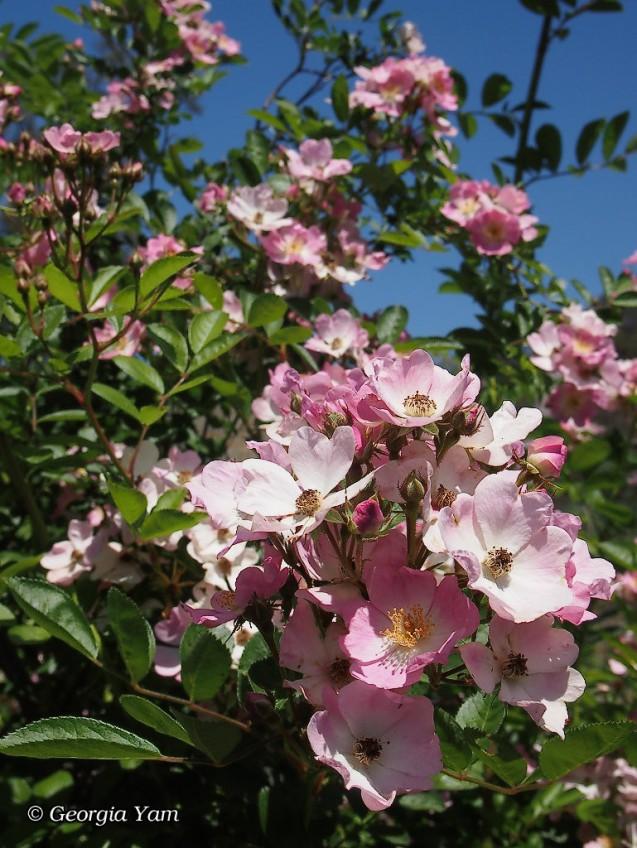 pink banksia rose