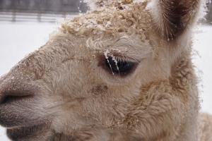 llama frozen eyelashes
