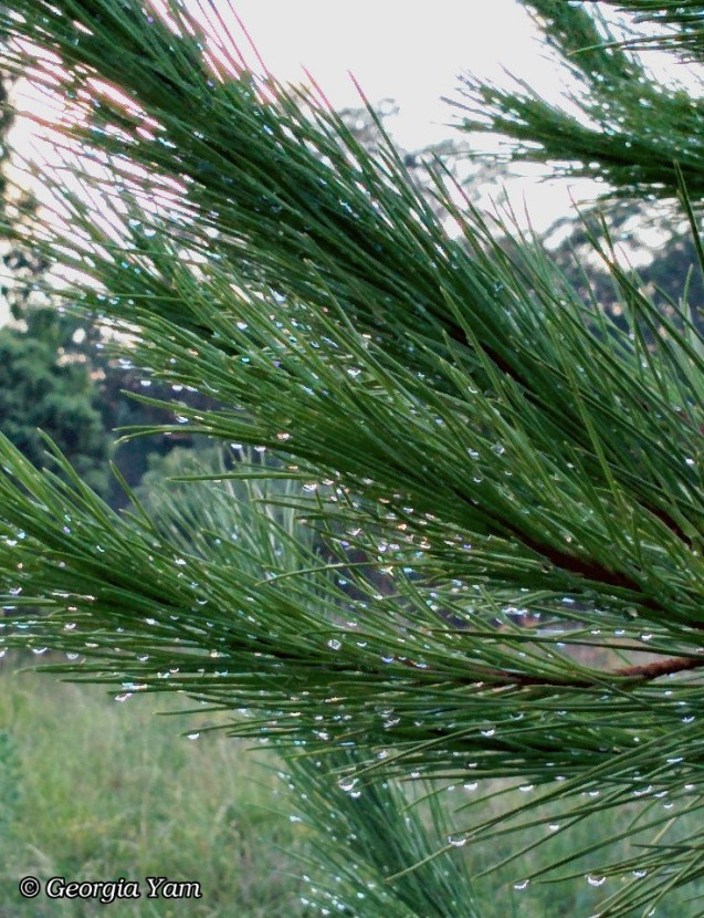 raindrops on pine needles