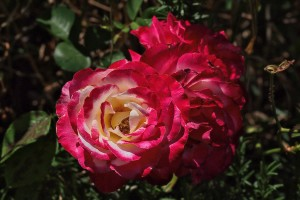 full bloom rose