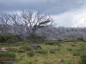 Perisher environment trees