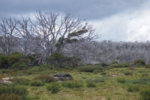 Perisher environment trees