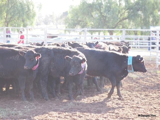 many black cows