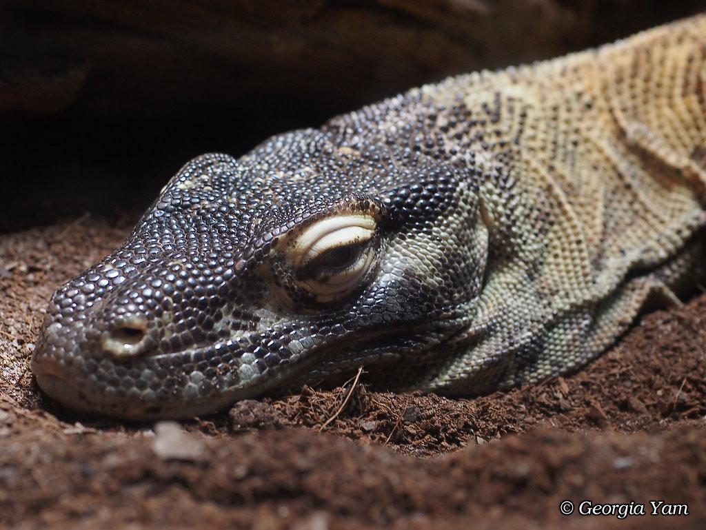 close up Komodo dragon