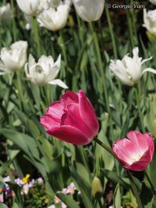 maroon tulip