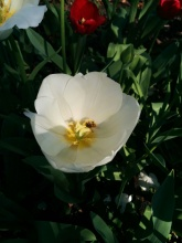 bee white tulip